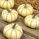 white orange mini pumpkin