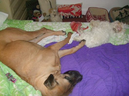 Saachi the Bullmastiff and Affie the Coton Taking A Nap