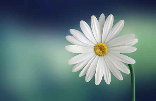 marguerite-daisy-beautiful-beauty.jpg