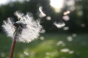 dandelion nature sunlight